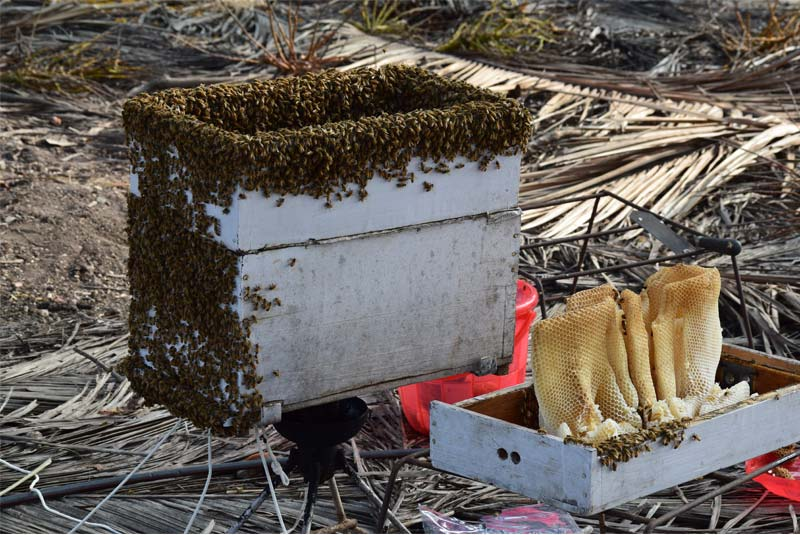 Honey bees collecting honey