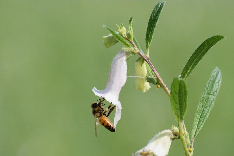 honey bees collecting honey from sesame flower